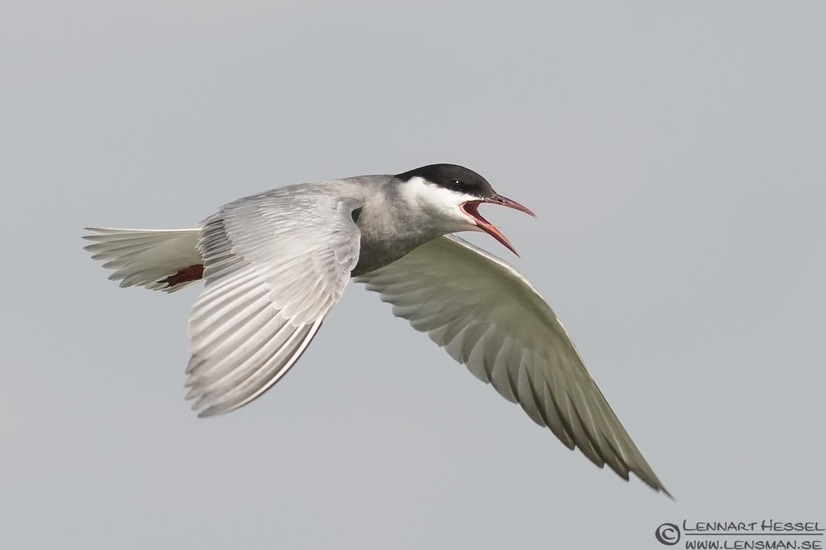 Whiskered Tern calling