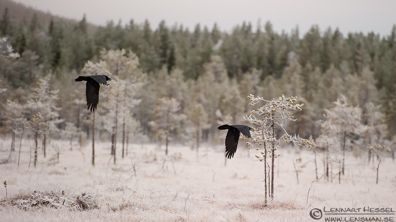 Ravens in flight from the Golden Eagle workshop
