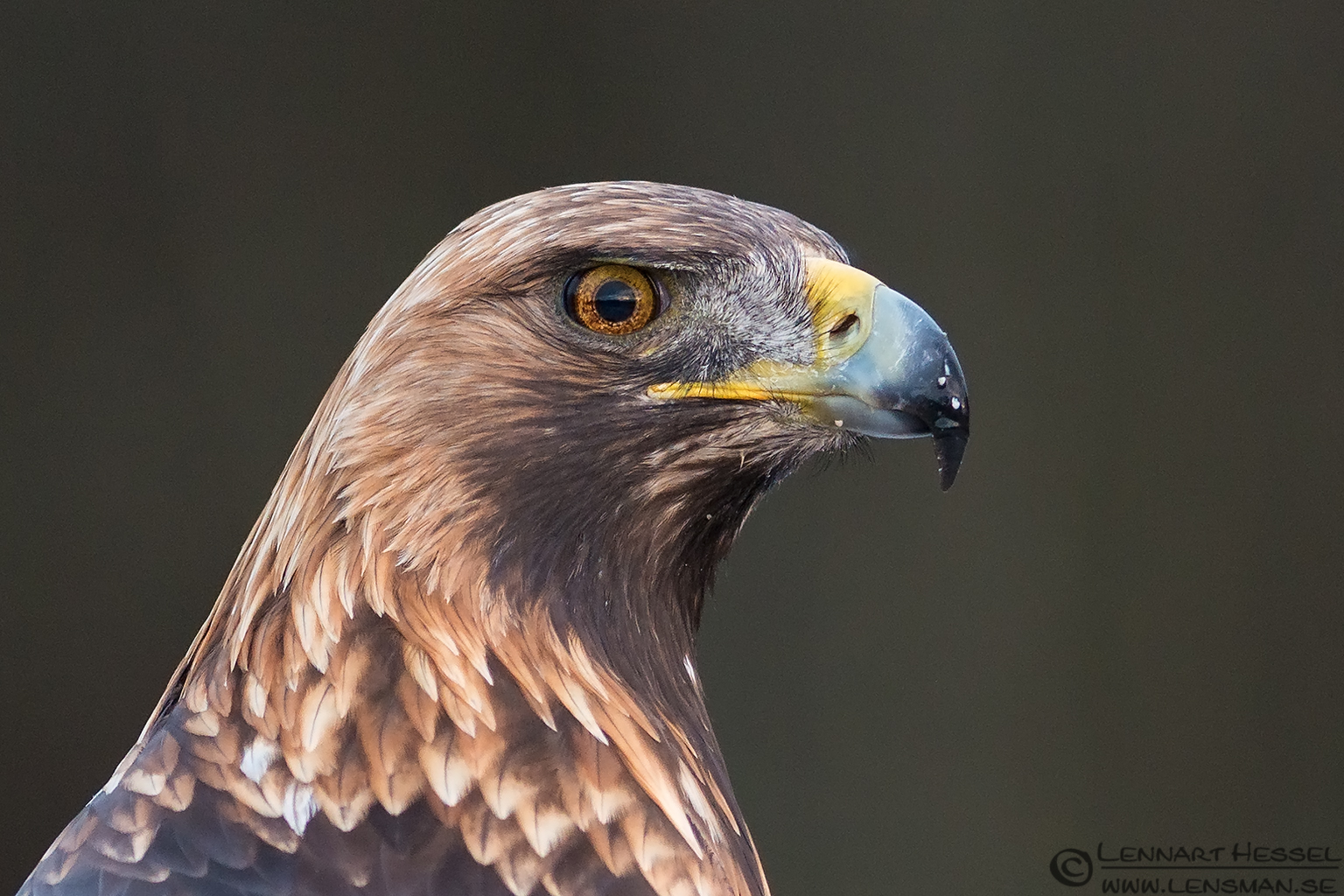 Golden Eagle portrait from the Golden Eagle workshop