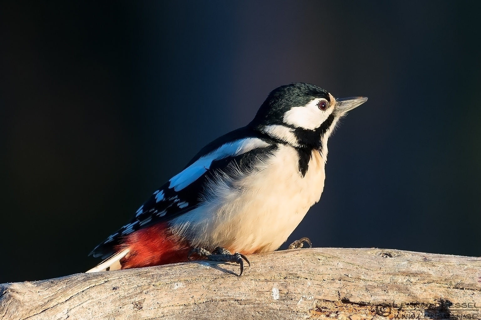 Great Spotted Woodpecker from the Golden Eagle workshop