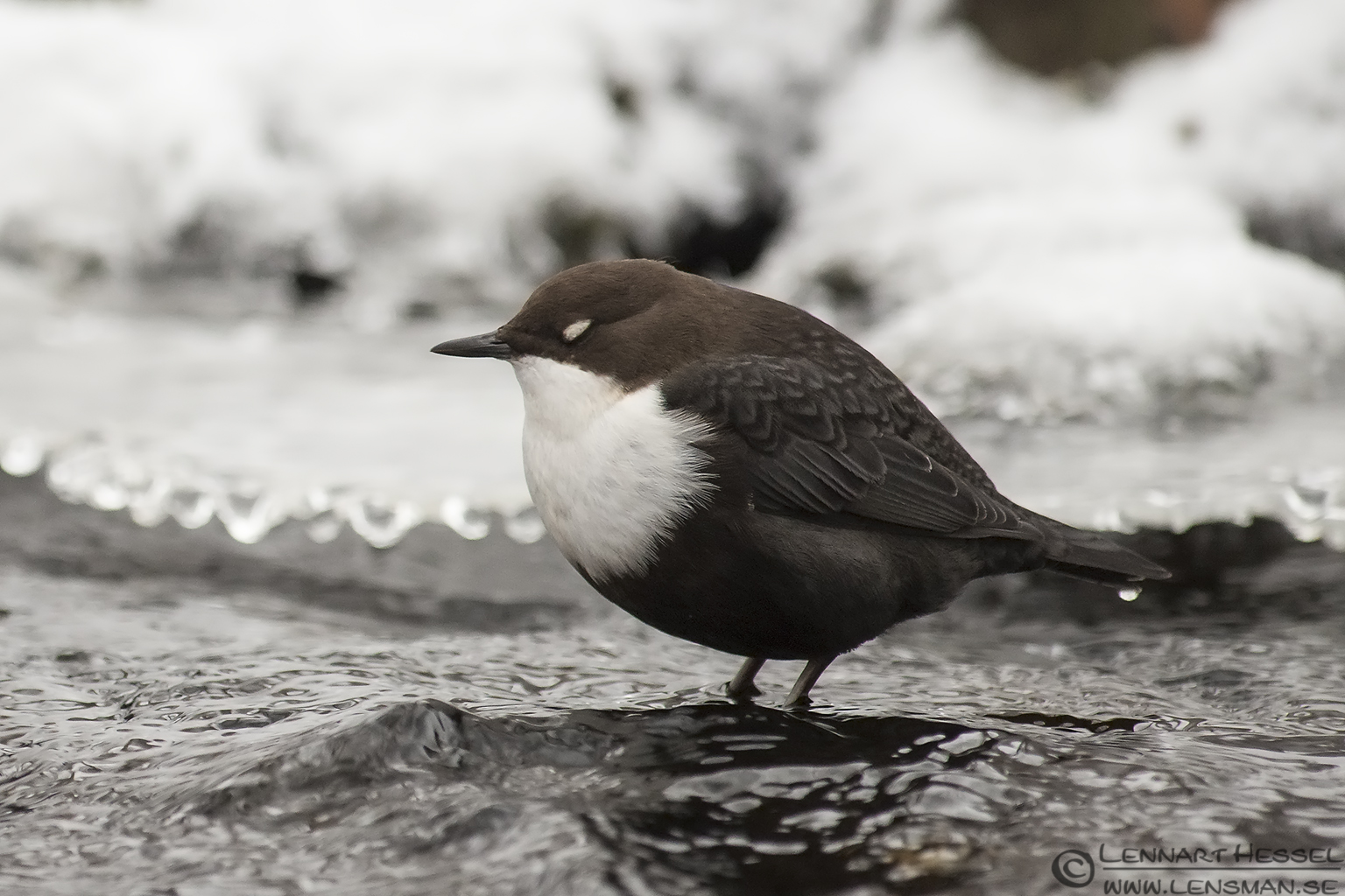 White-throated Dipper blinking in Mölndal