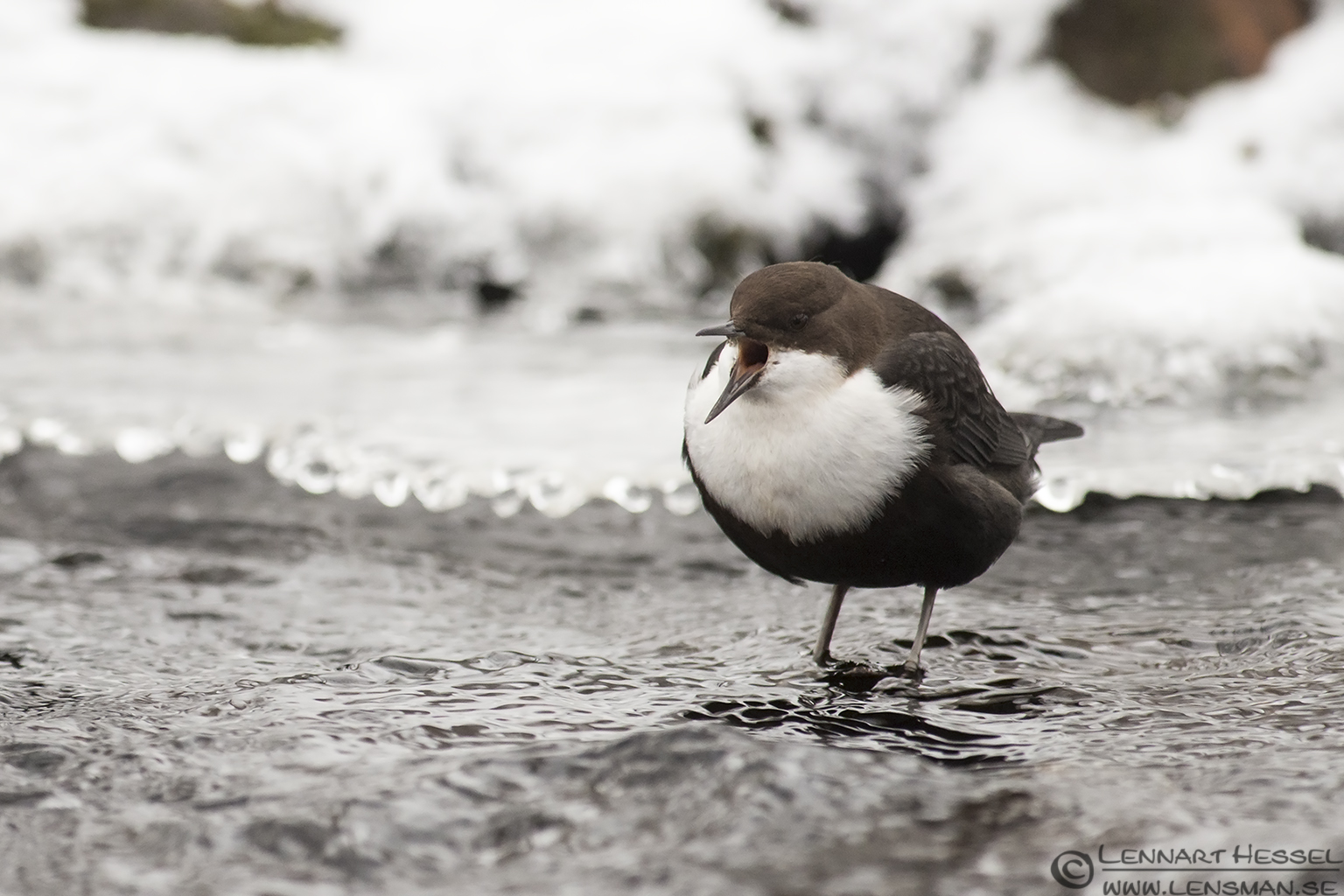 White-throated Dipper calling in Mölndal