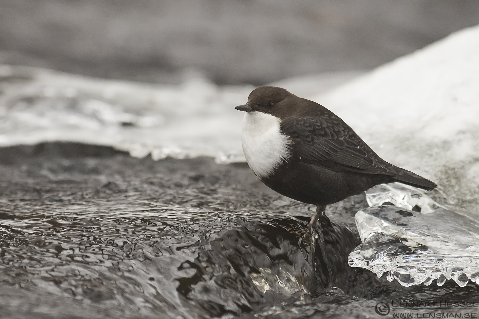 White-throated Dipper in Mölndal