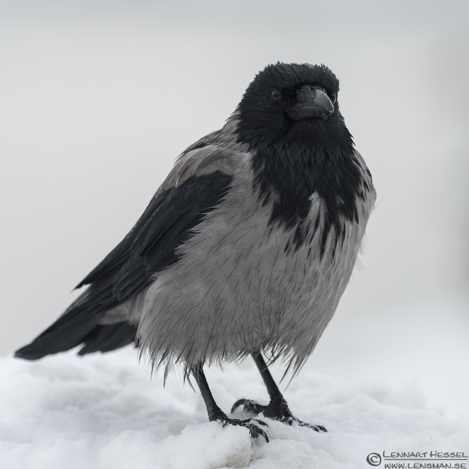 Hooded Crow, winter photo from the Fish Harbor