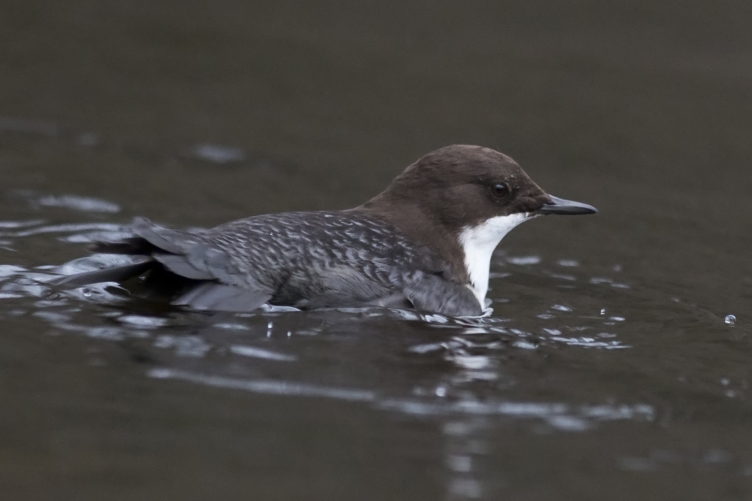 White-throated Dipper at Jonsered