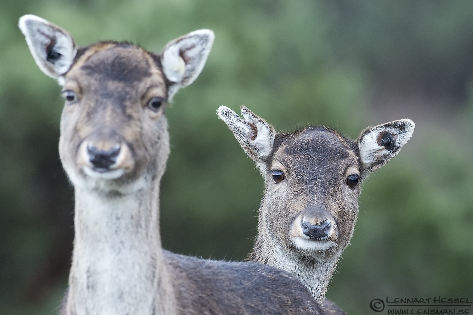 Fallow Deer, Slottskogen New Year's Day