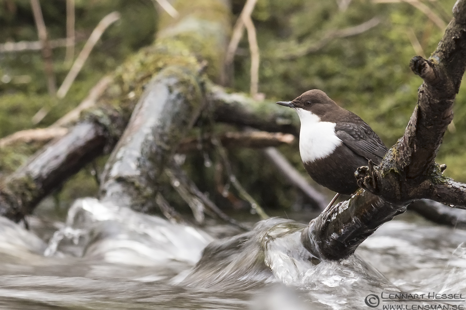 White-throated Dipper photo along Säveån