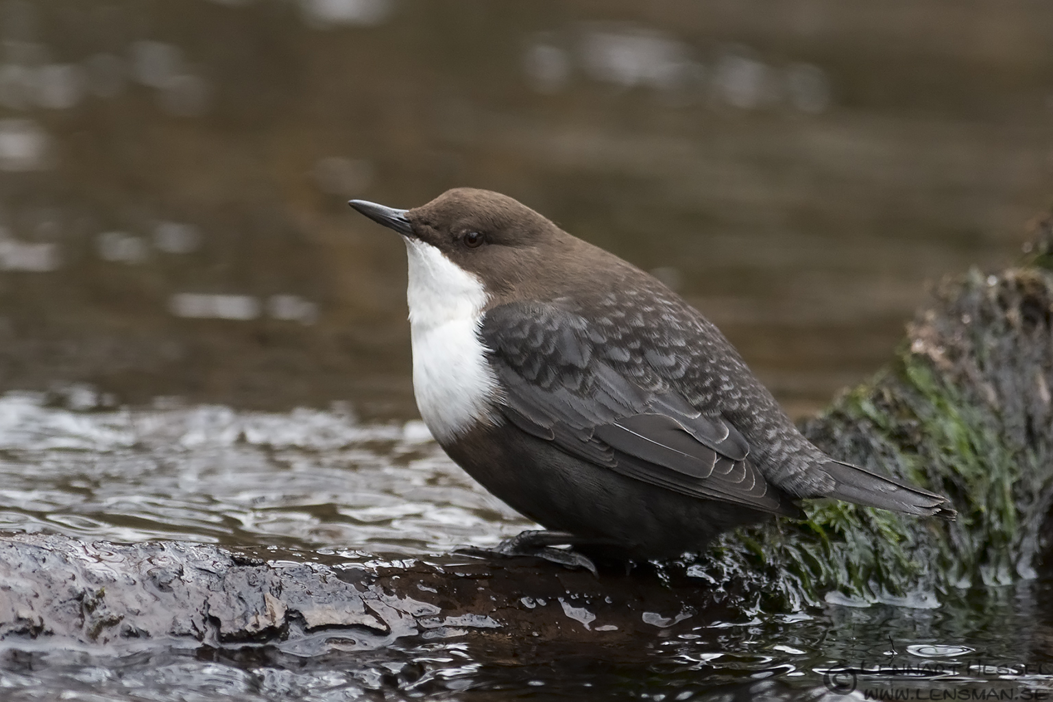 White-throated Dipper along Säveån