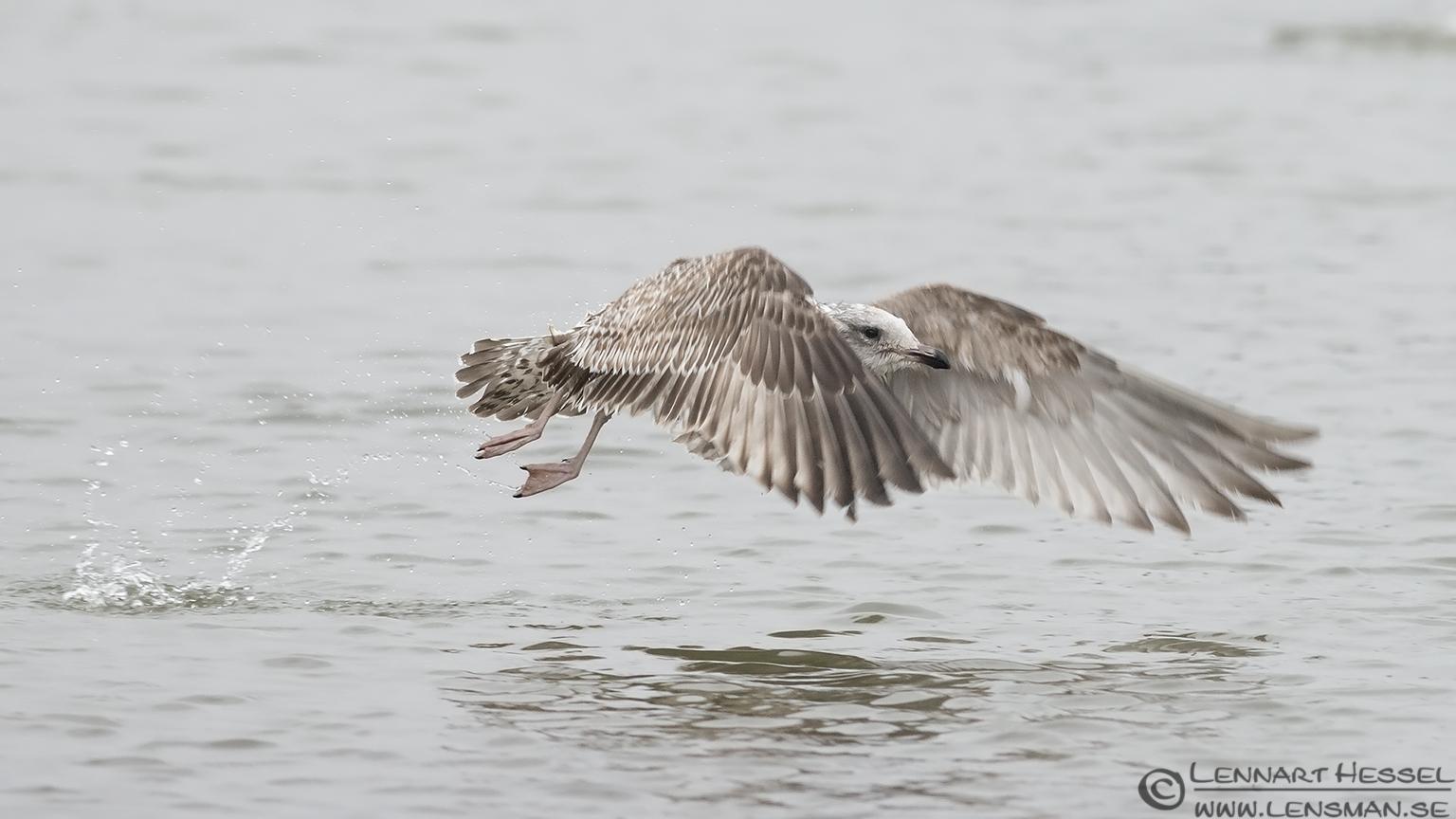 http://www.lensman.se/wp-content/uploads/2013/01/130126-European-Herring-Gull.jpg