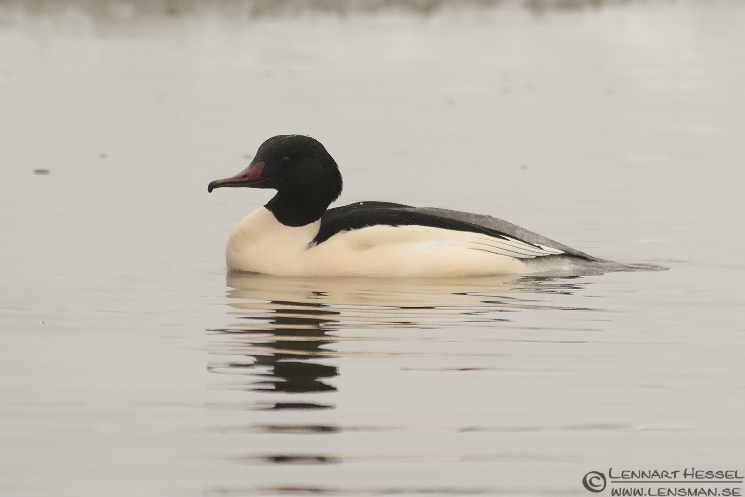 Common Merganser Kingsfisher