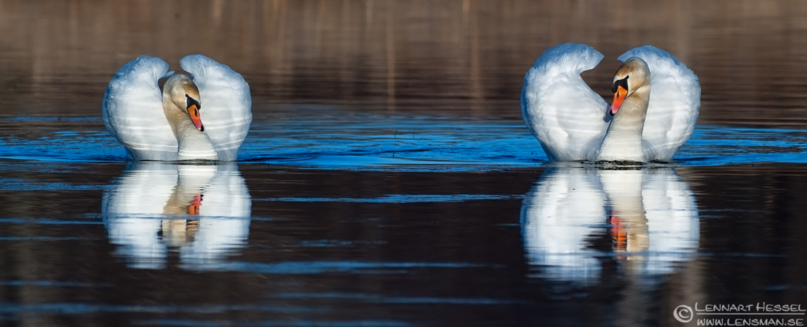 Mute Swans wild bird National Geographic