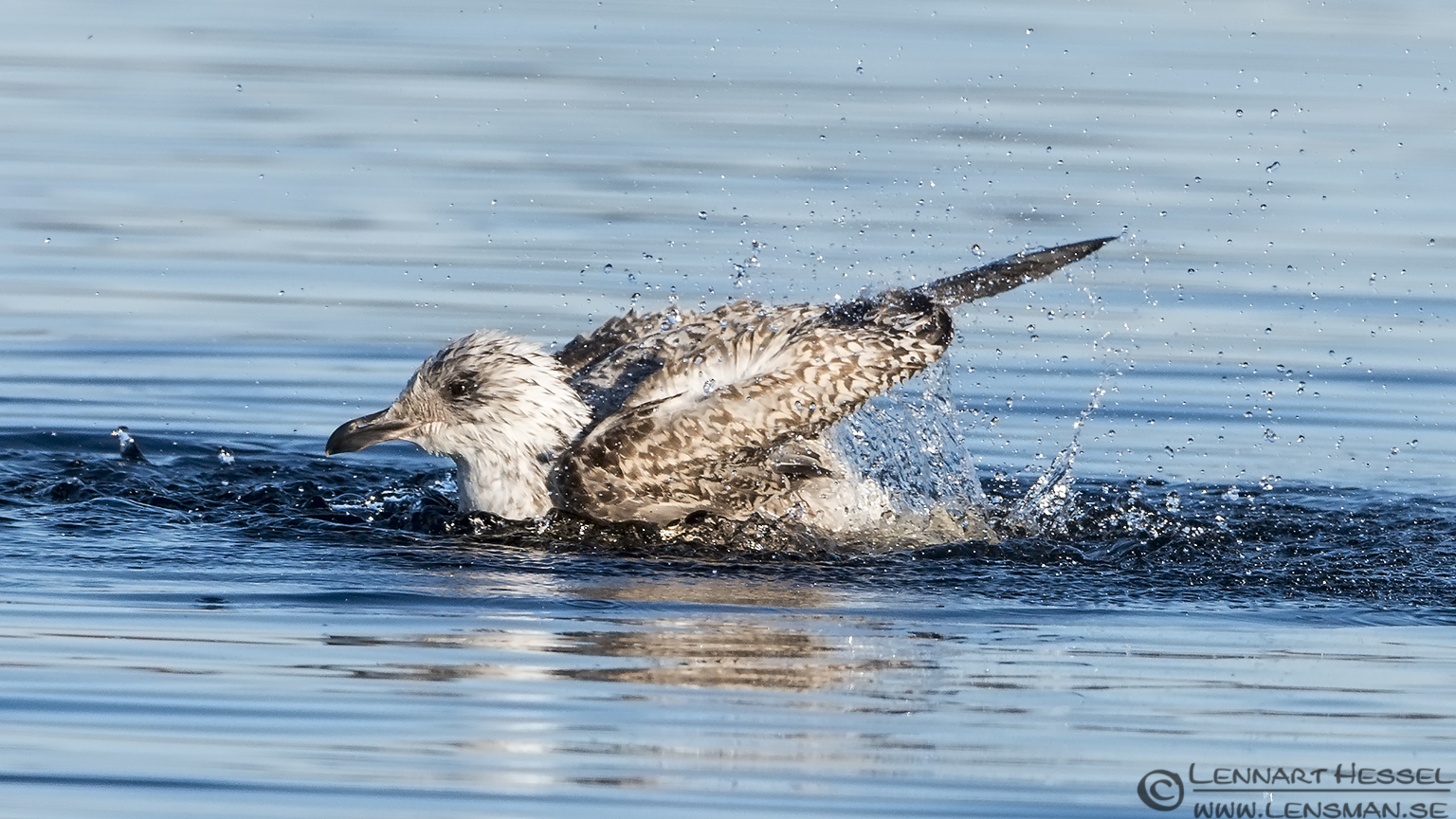 European Herring Gull lens test