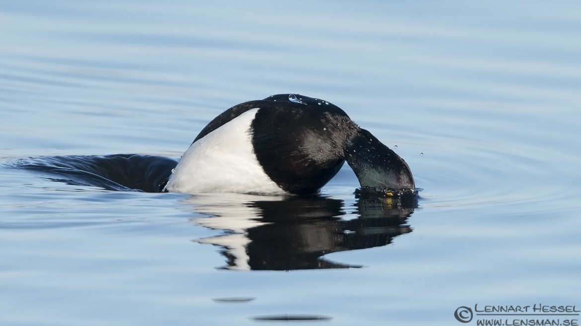 Tufted Duck diving lens test