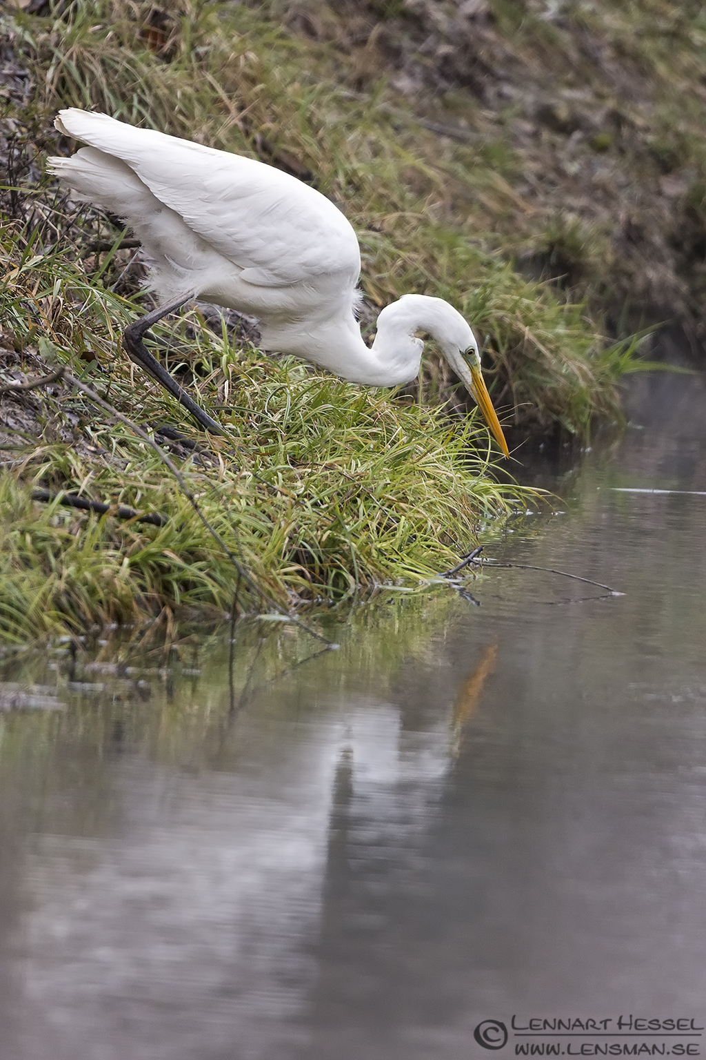 Great White Egret in Hungary