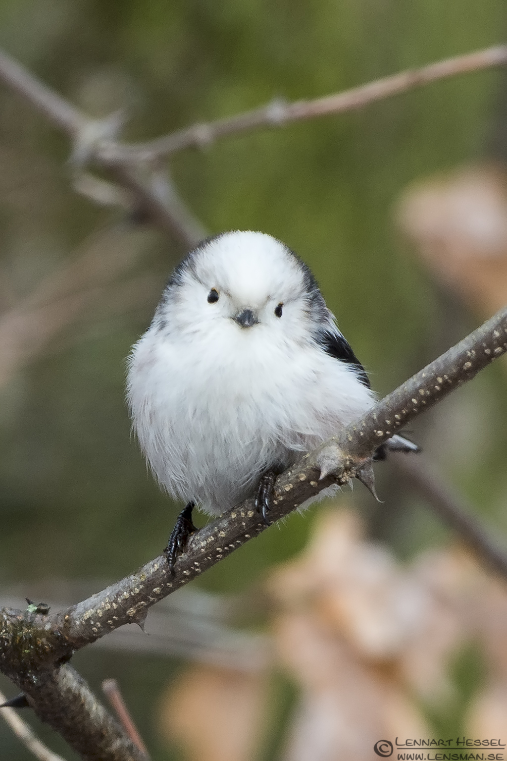 Long-tailed Tit in Hungary