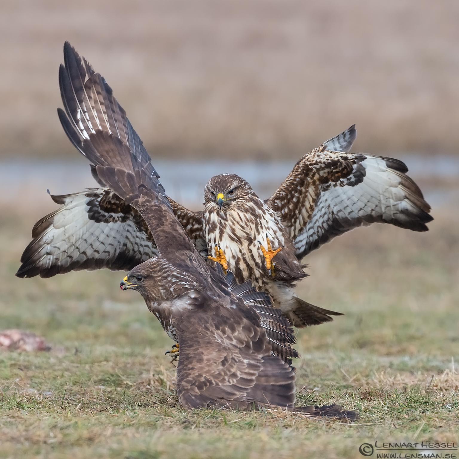 Common Buzzard fight eagle