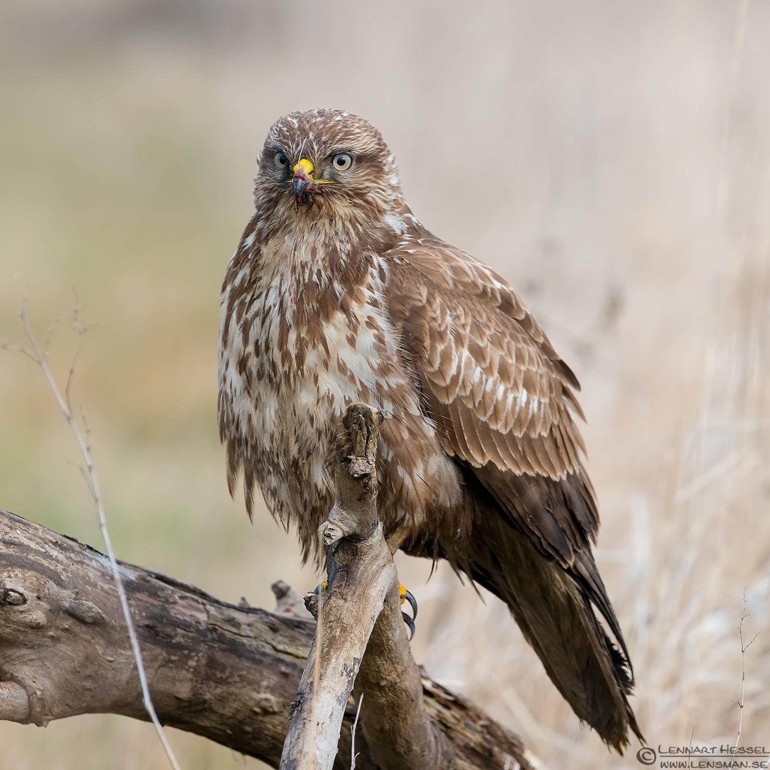 Common Buzzard portrait eagle