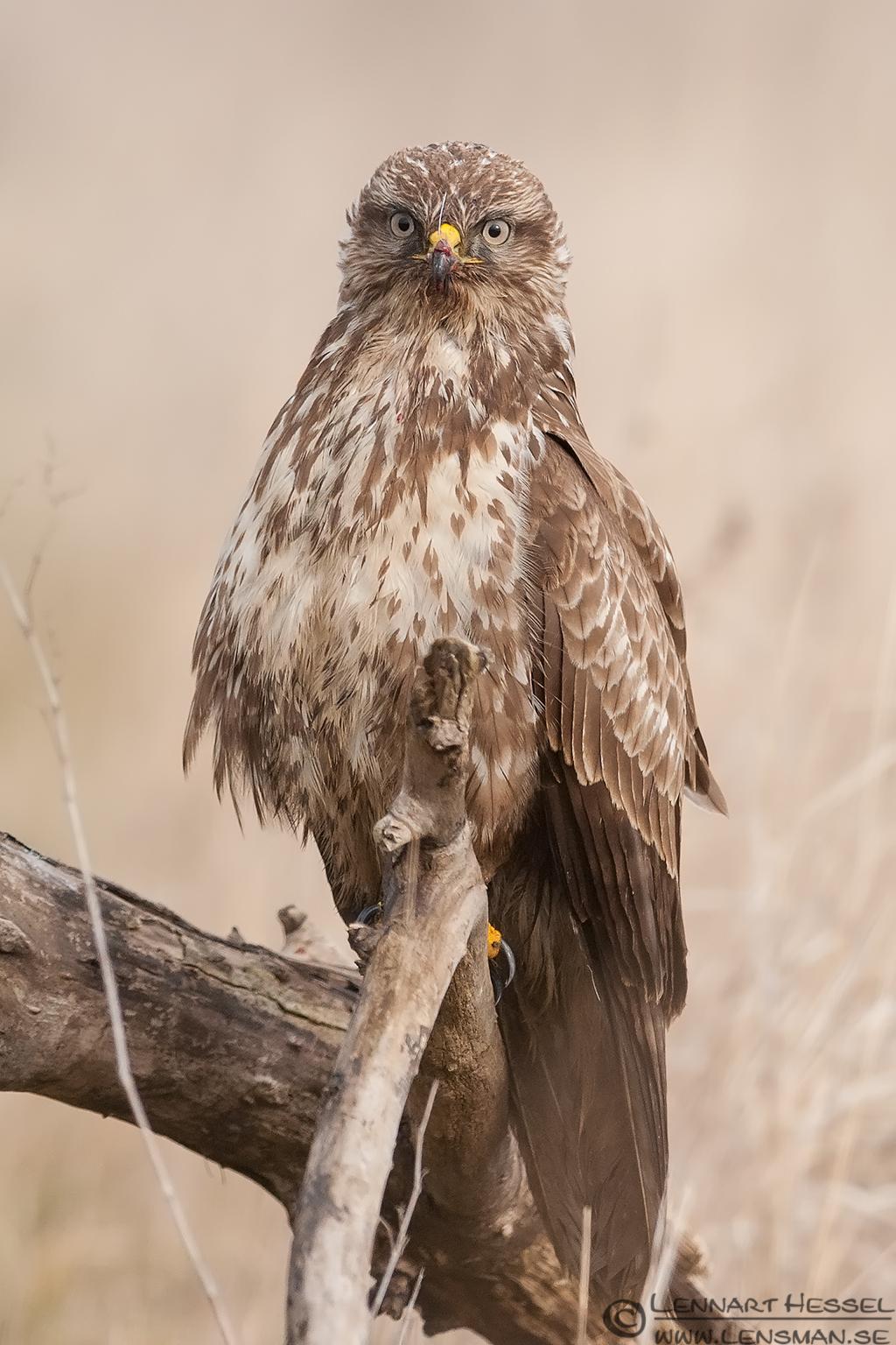 Common Buzzard searching eagle wild bird