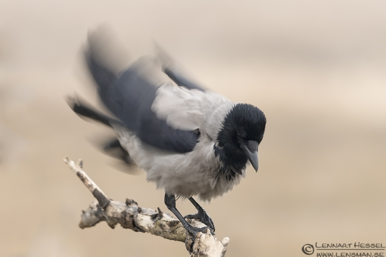 Hooded Crow eagle