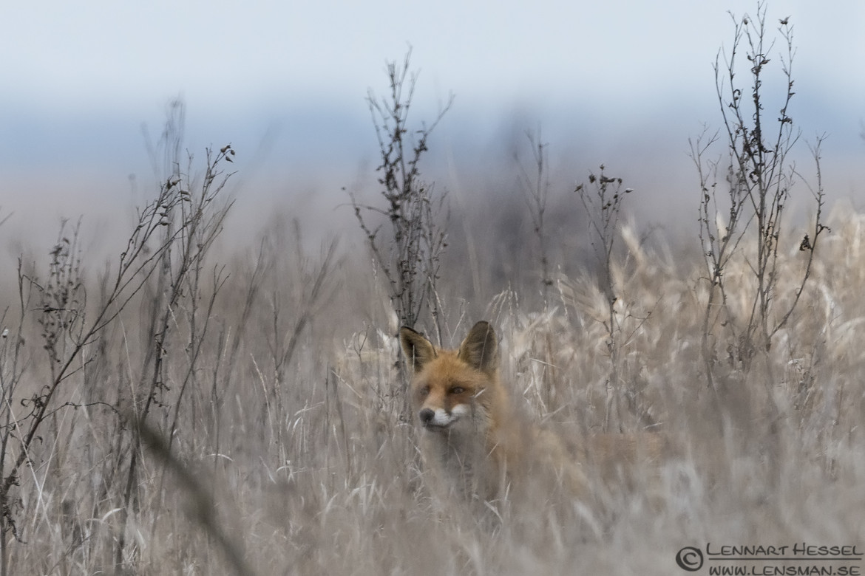 Red Fox eagle