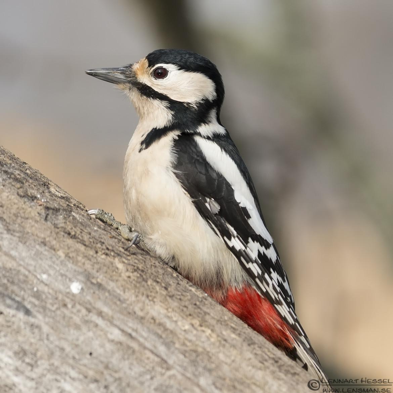 Great Spotted Woodpecker in Túrkeve wild bird