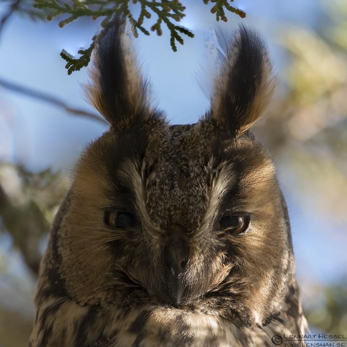 Long-eared Owl closeup in Túrkeve