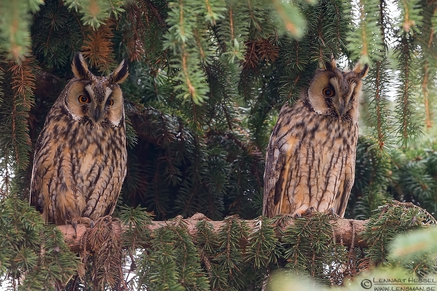 Long-eared Owl in Túrkeve