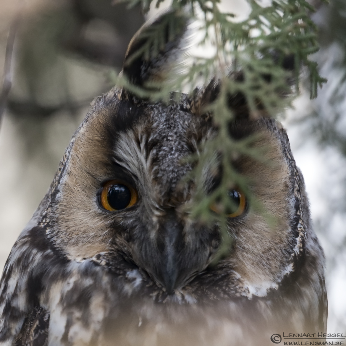 Long-eared Owl in Hungary