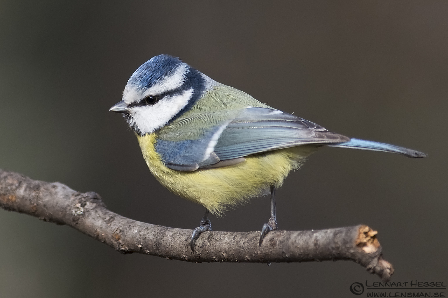 Eureopean Blue Tit in Hungary