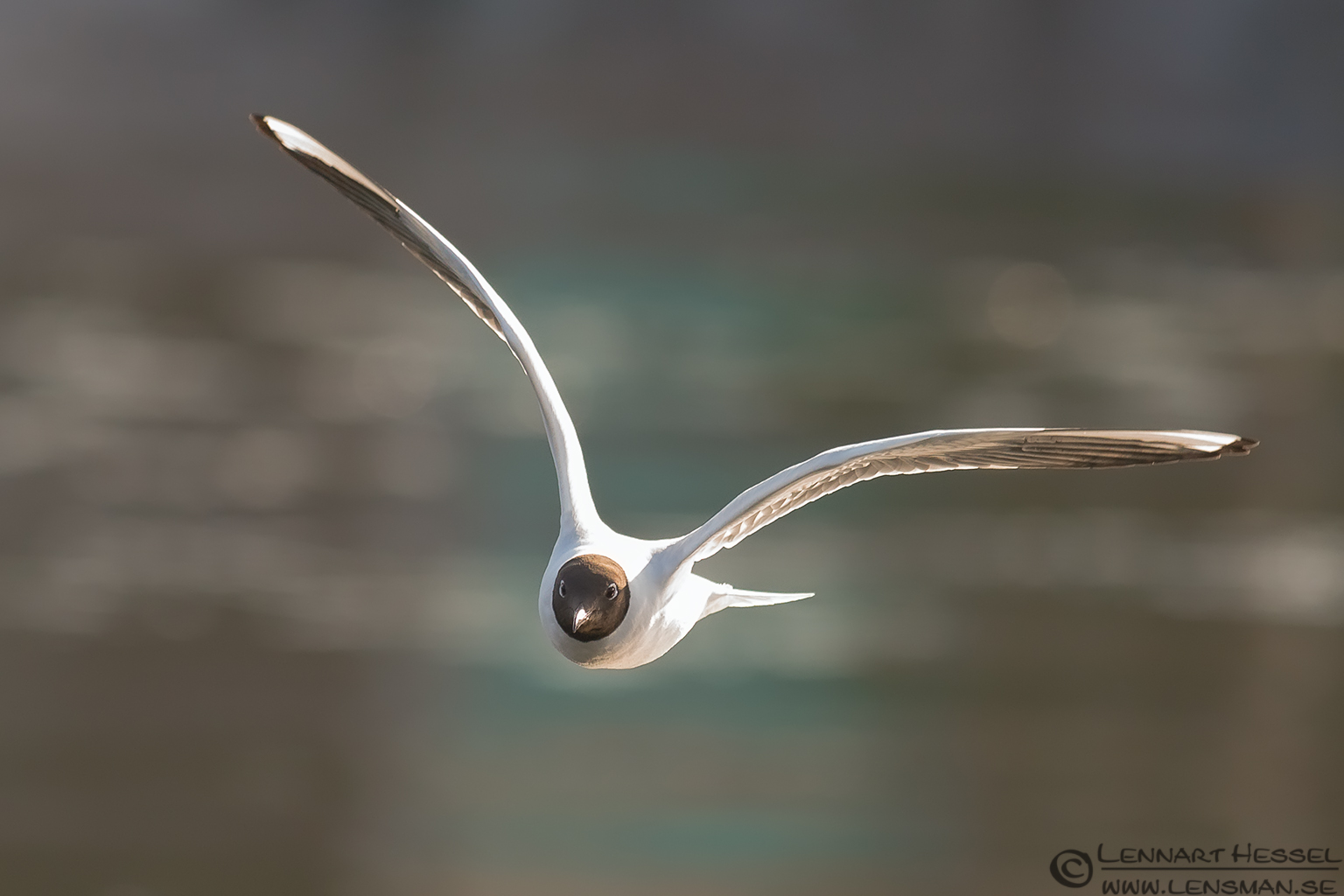 Black-headed Gull in Gothenburg