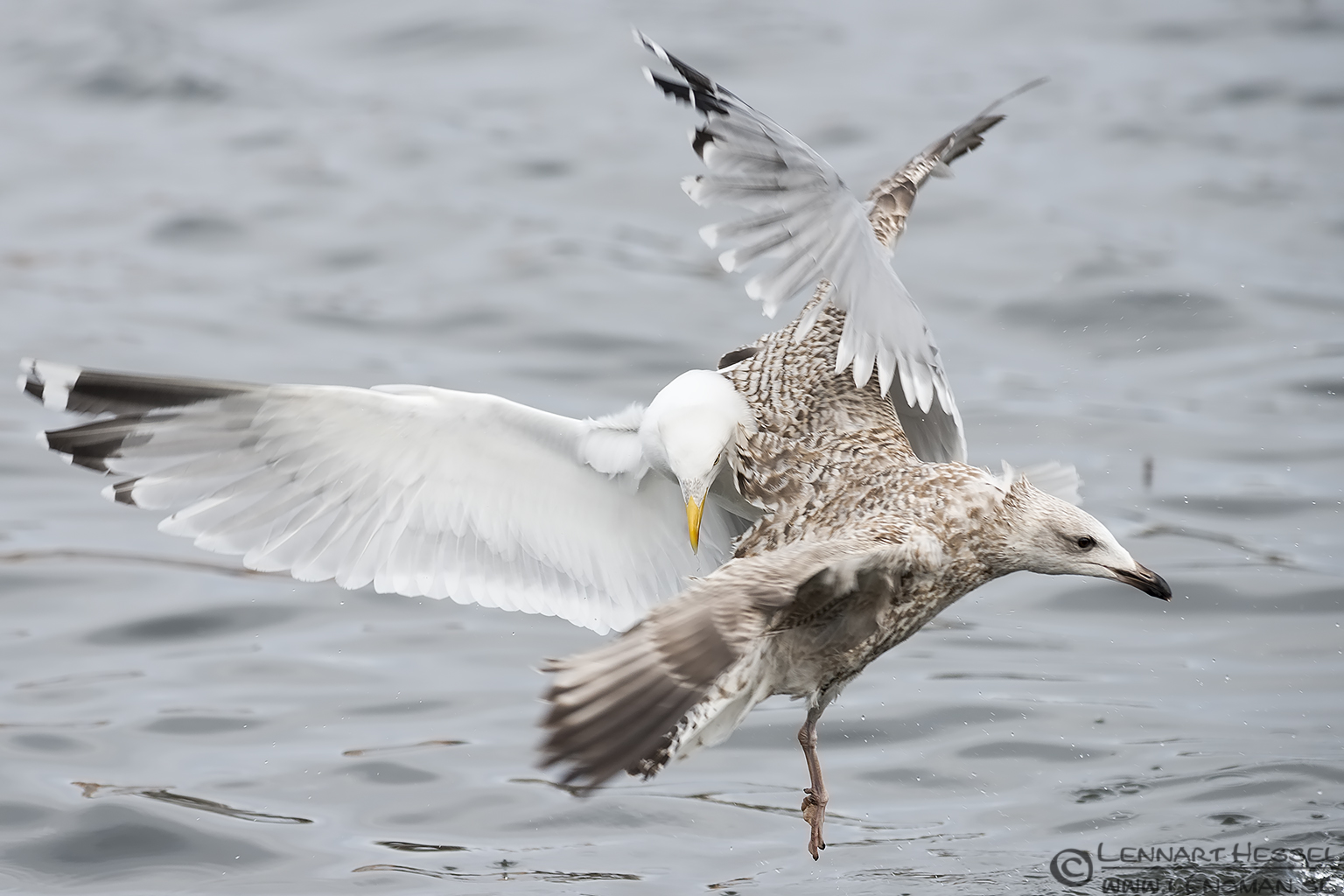 European Herring Gulls, Gothenburg dipper
