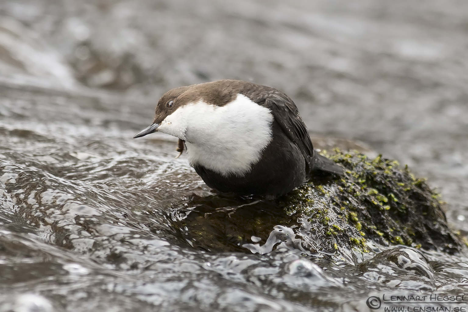 White-throated Dipper scratching, Jonsered