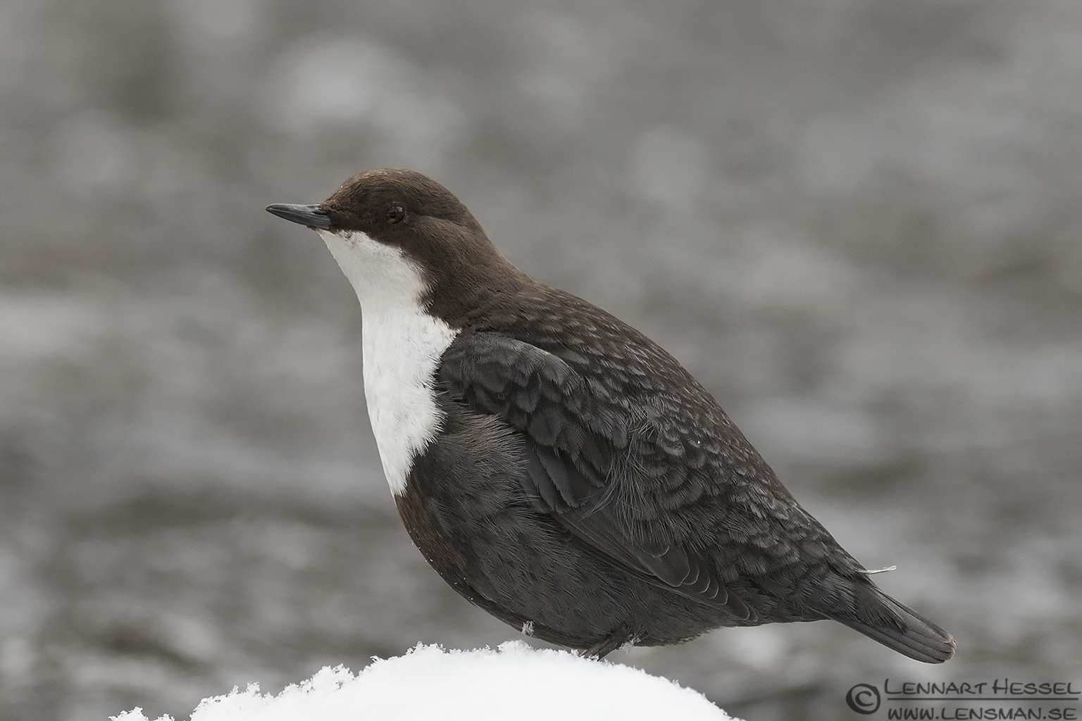 White-throated dipper portrait, Jonsered