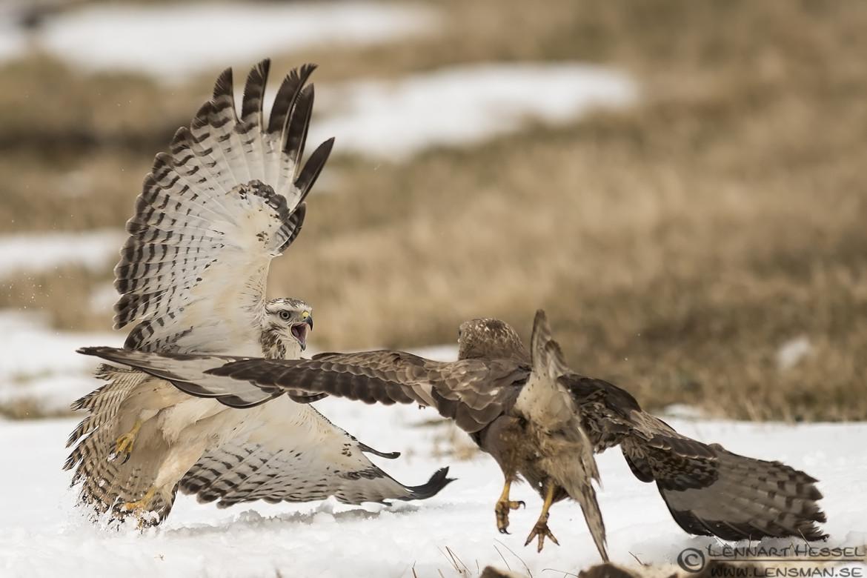 Common Buzzard attack Fyledalen wild bird