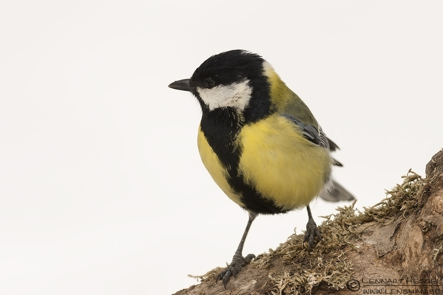 Great Tit Fyledalen