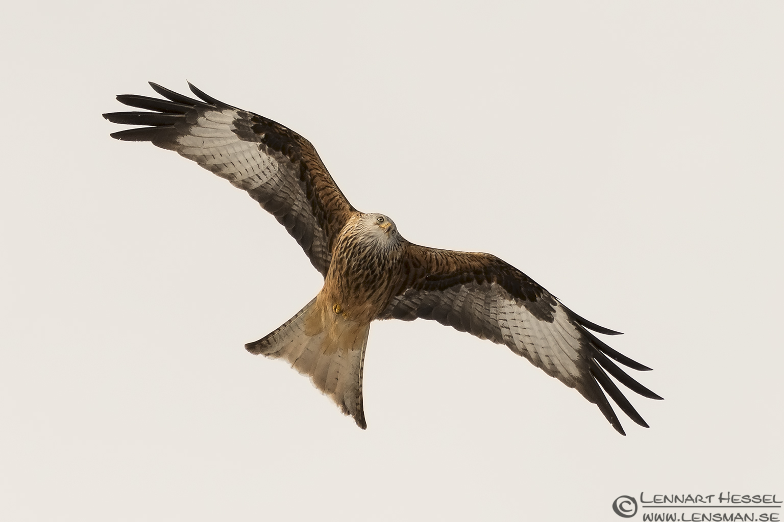 Red Kite flight Fyledalen