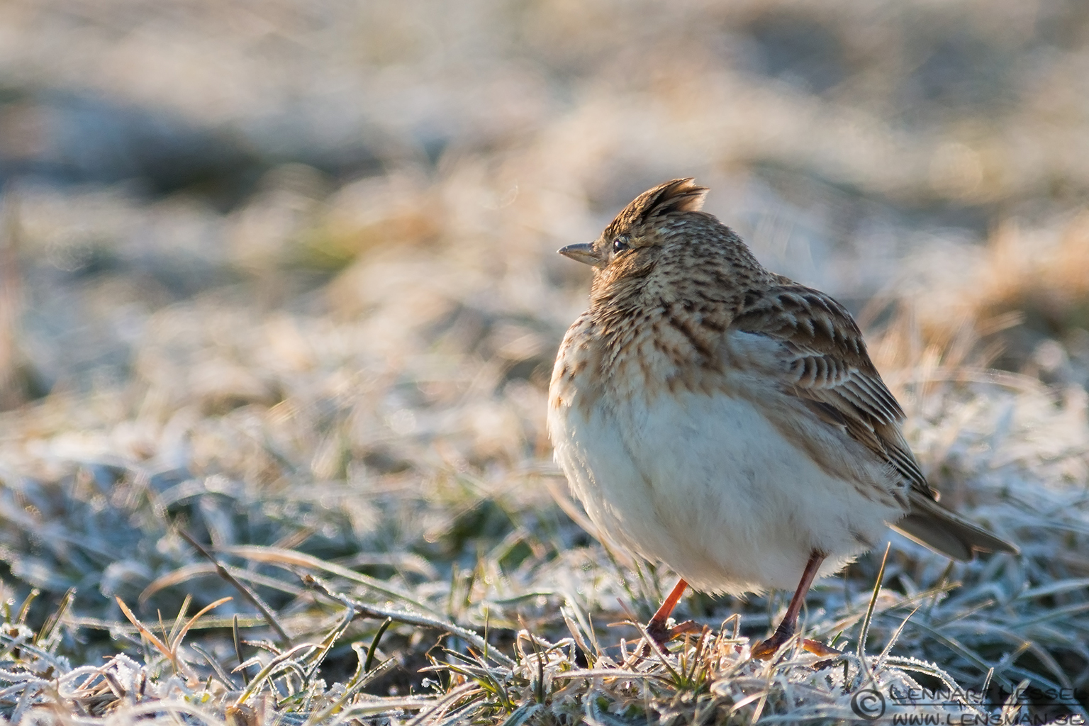 Eurasian Skylark looking 130331