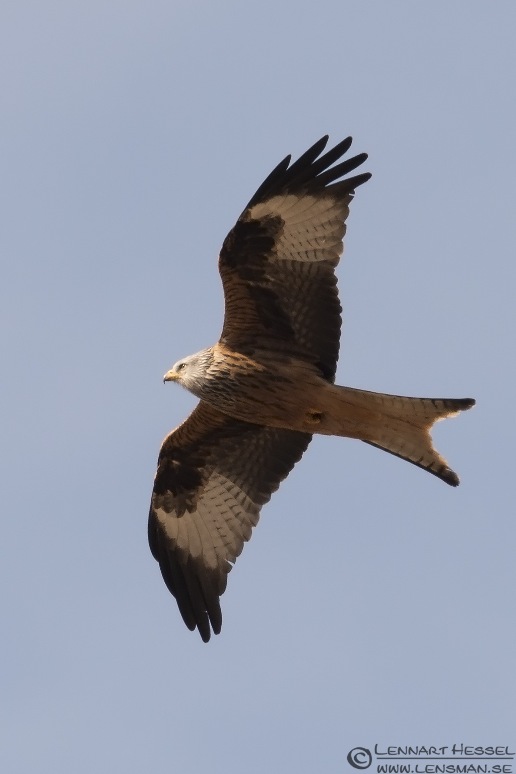 Red Kite Eastern
