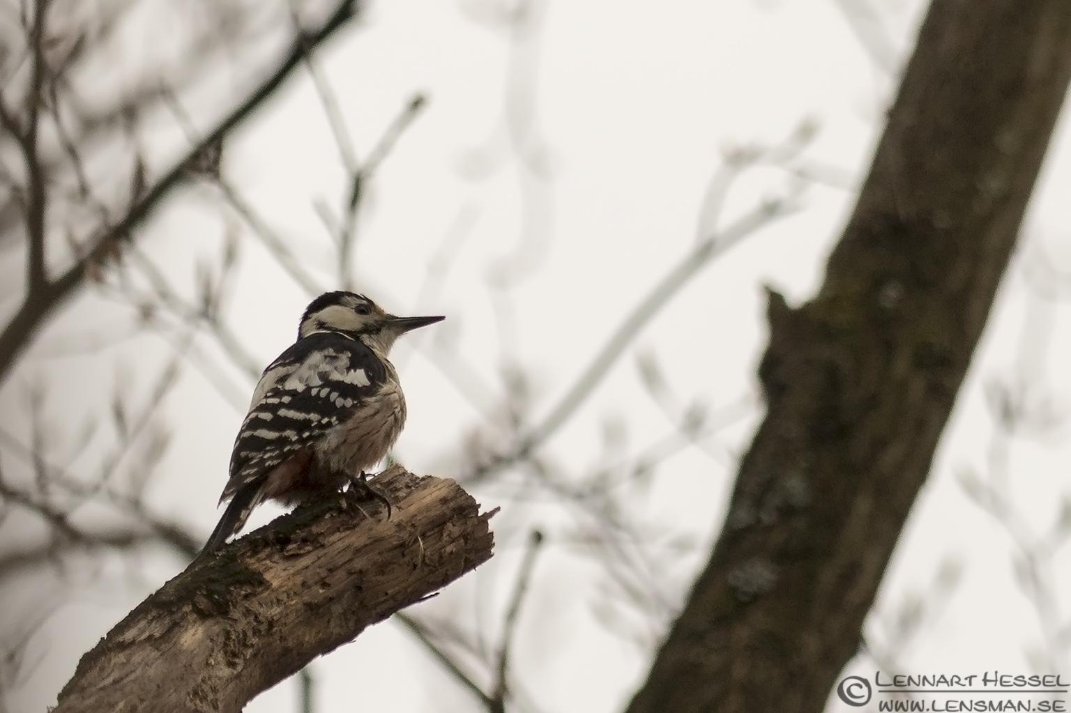 Lesser Spotted Woodpecker Transylvania, Romania