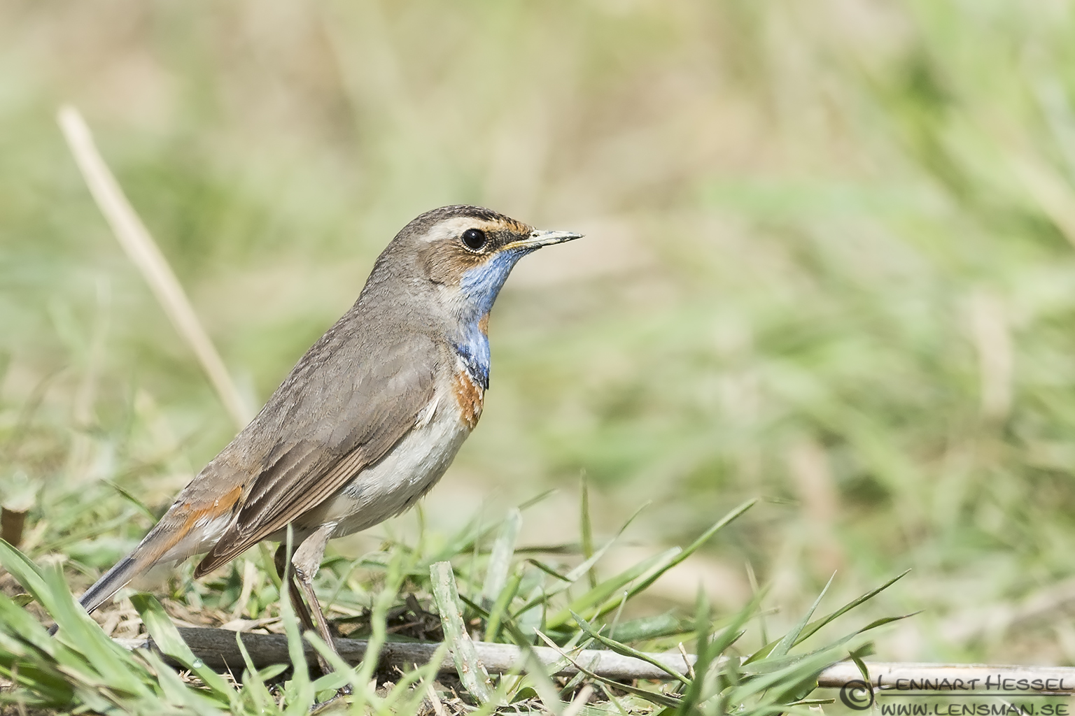 Bluethroat in Romania