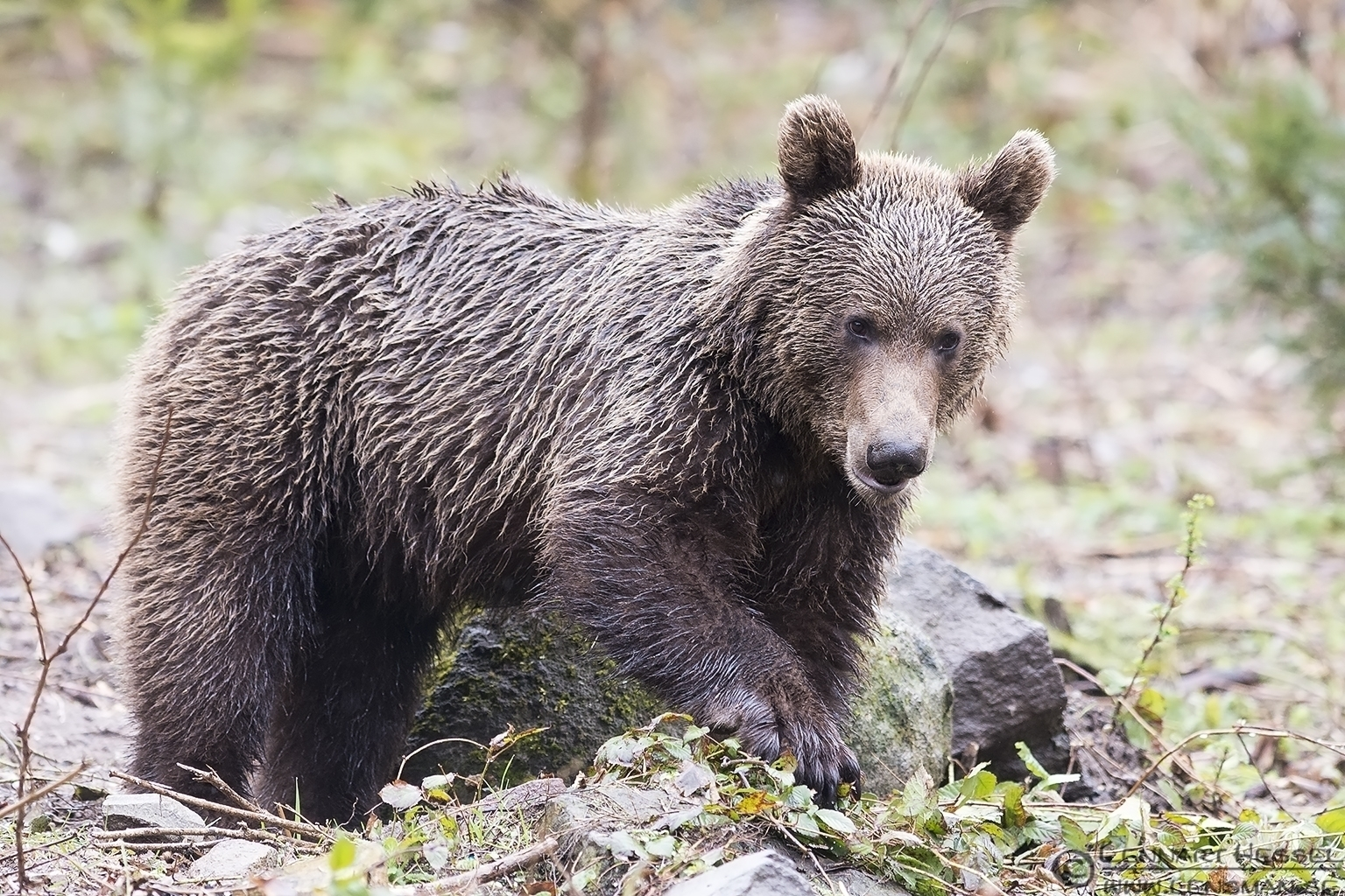 Investigating Brown Bear in Romania