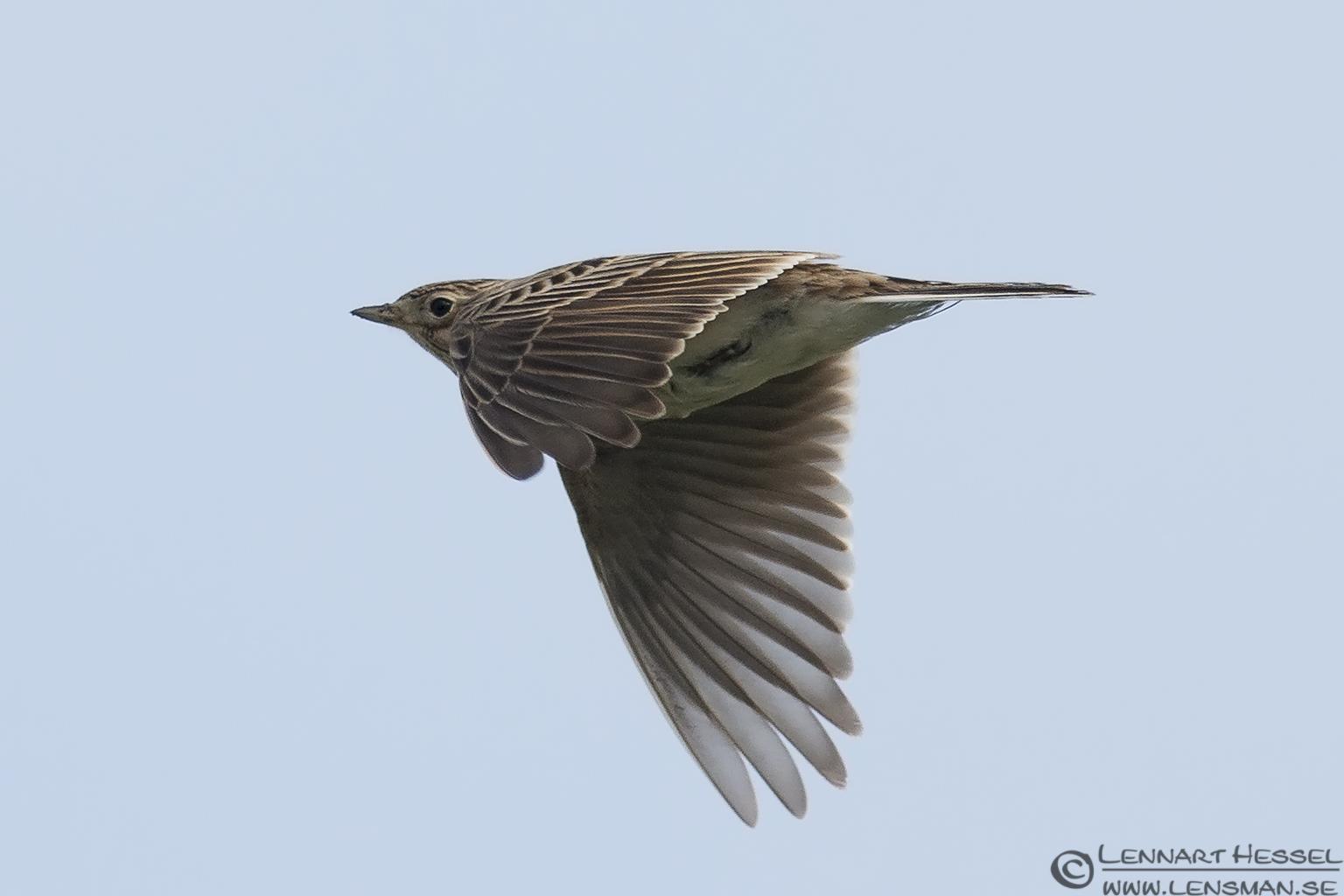 Eurasian Skylark Transylvania, Romania