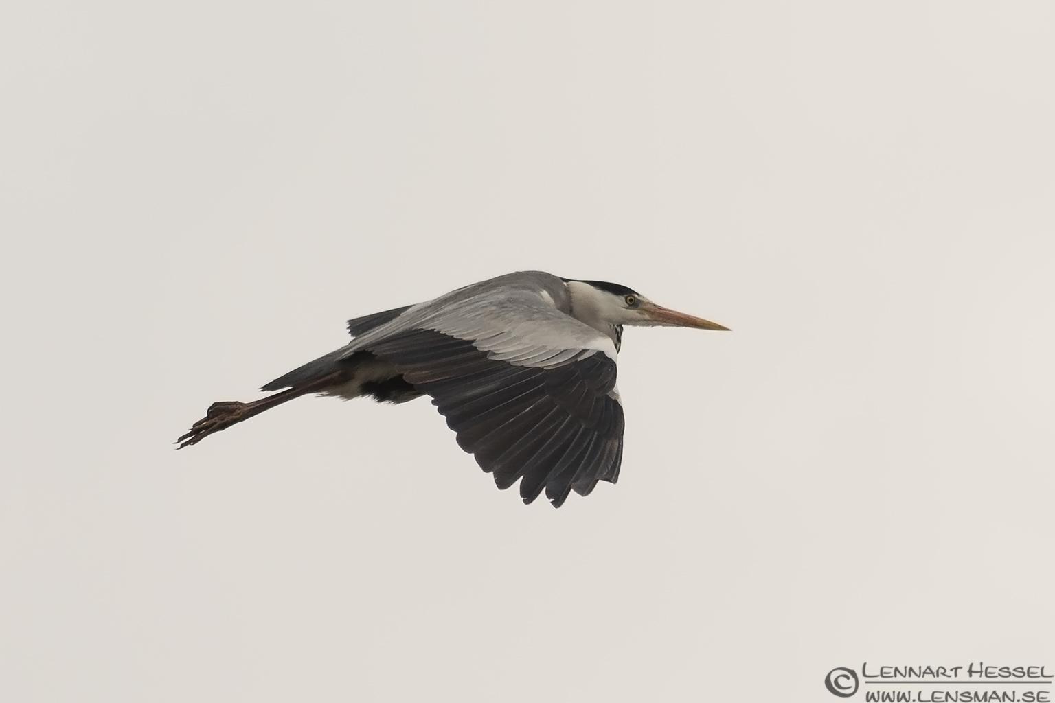 Flying Grey Heron Transylvania, Romania
