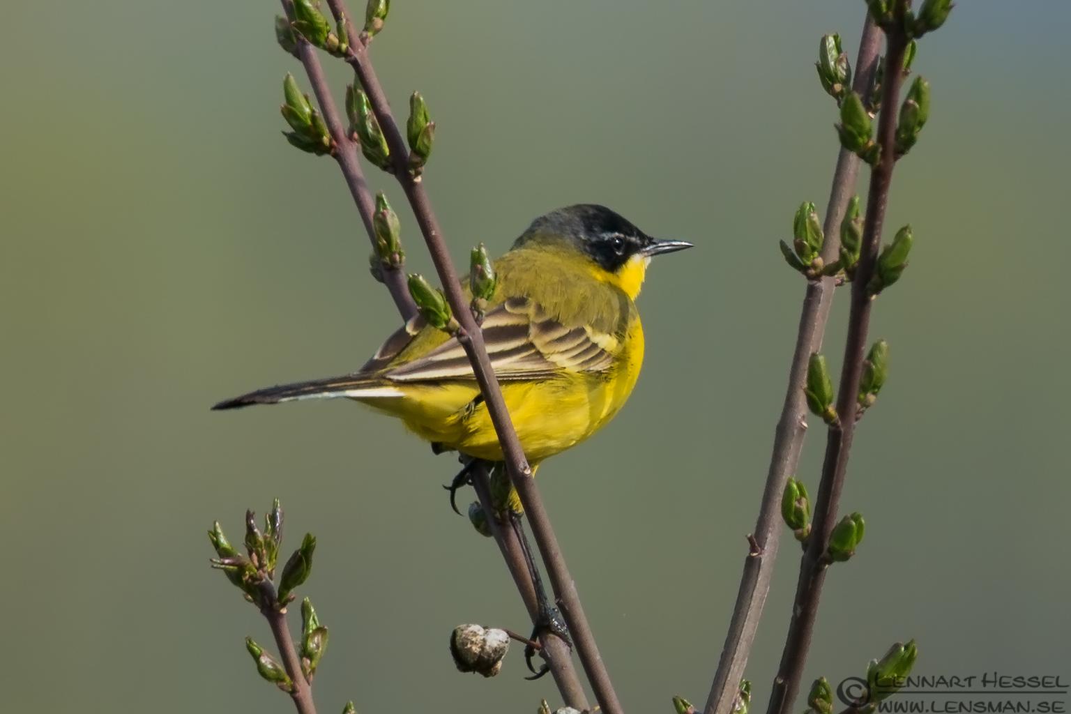Yellow Wagtail Transylvania, Romania