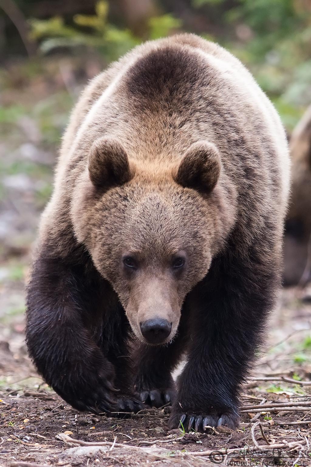 Brown Bear coming at you Transylvania, Romania