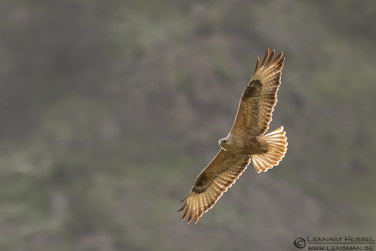 Long-legged Buzzard from Bulgaria Vulture workshop