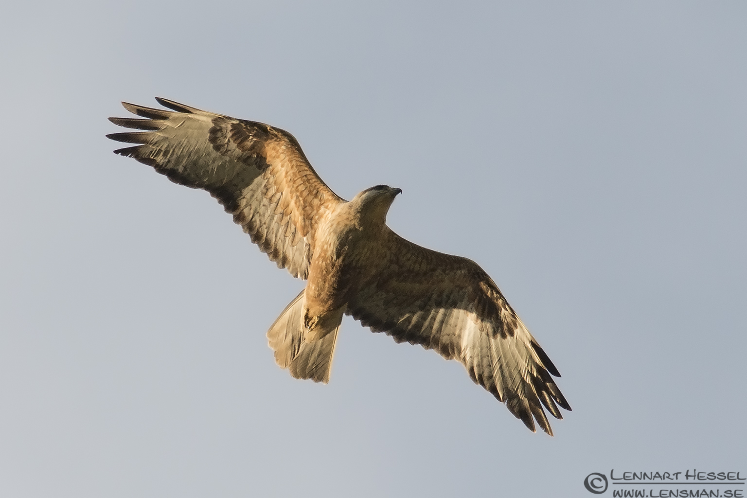 Long-legged Buzzard in Bulgaria