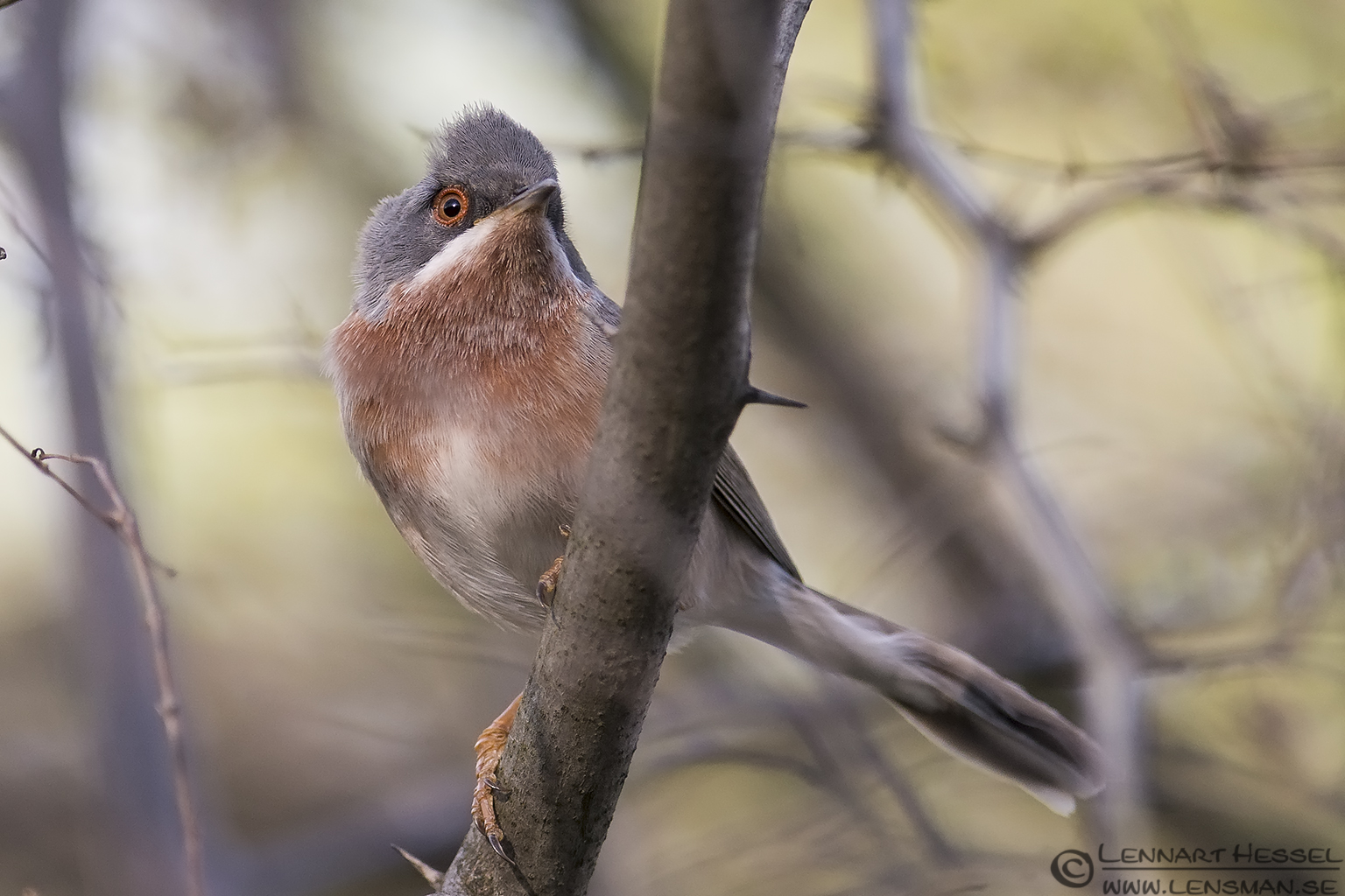 Subalpine Warbler in Bulgaria