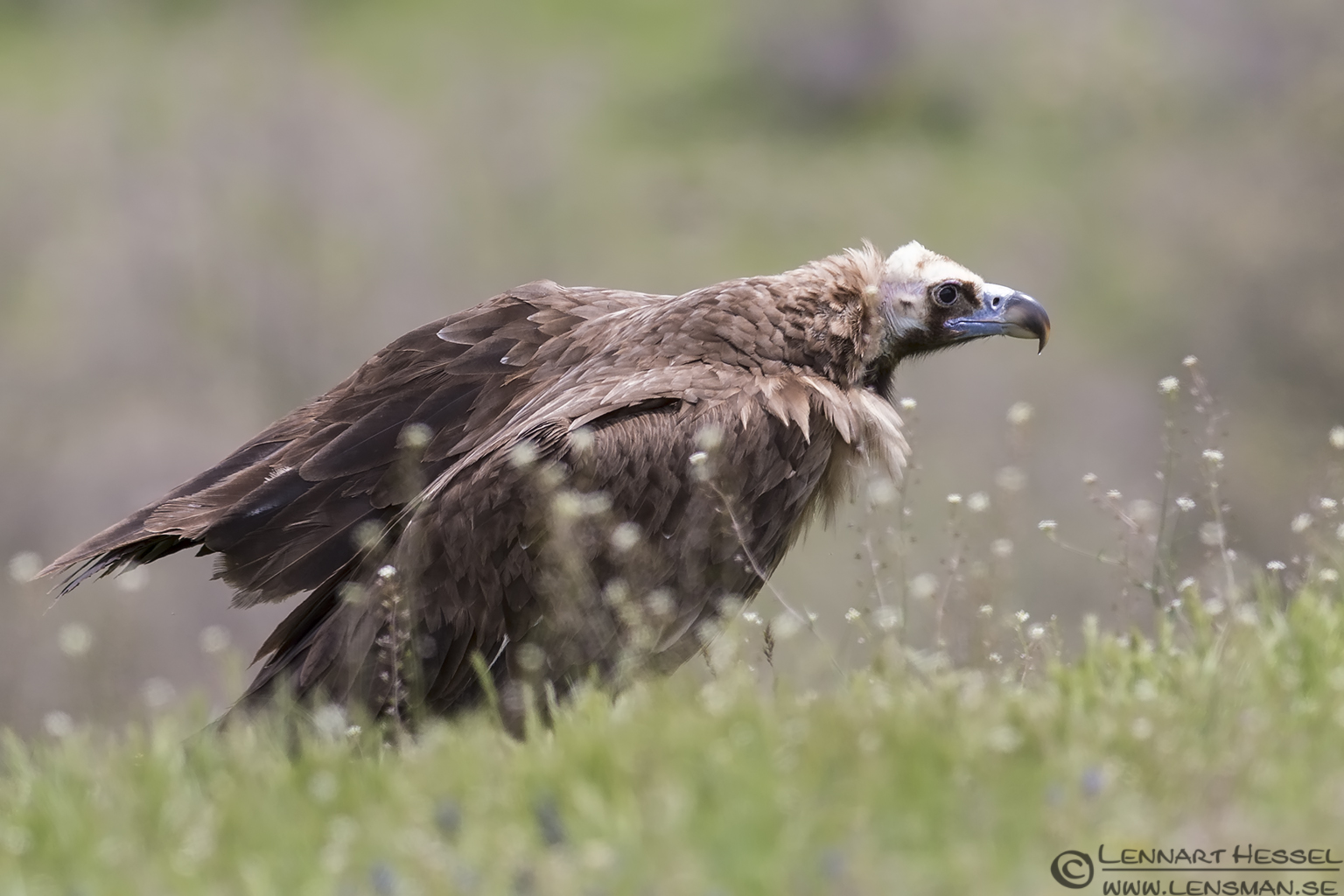 Cinereous Vulture from Bulgaria Vulture workshop