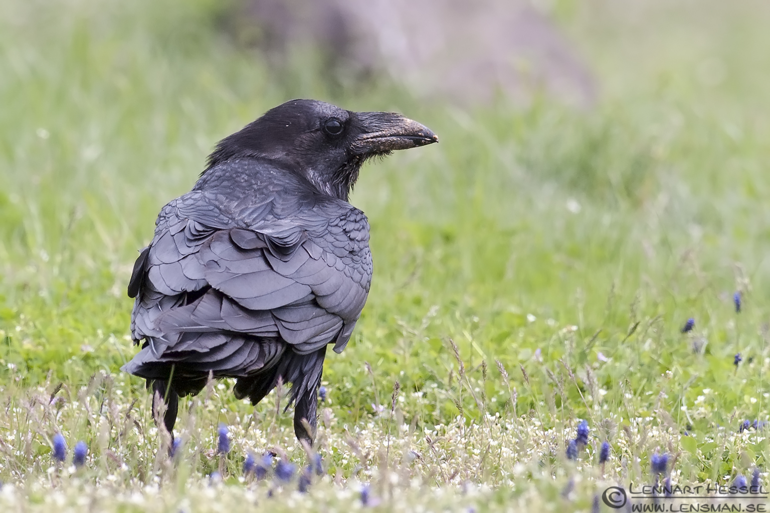 Common Raven with dirty beak in Bulgaria